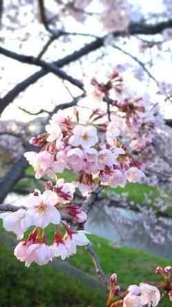 Sakura4.2